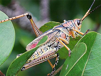 Habitant des Everglades