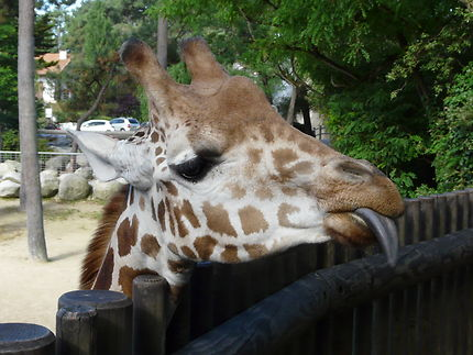 Girafe au zoo de la Palmyre