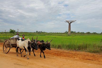 Le 1er baobab, en route vers l'allée des baobabs