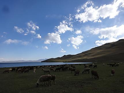 Moutons de Song-Kol
