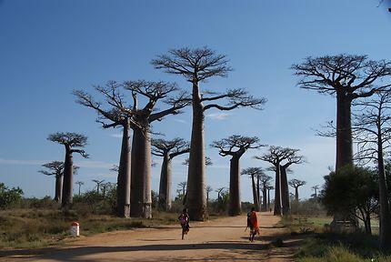 L'Allée des baobabs au lever du soleil