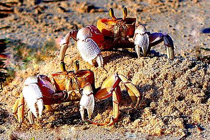 Les crabes sur la plage