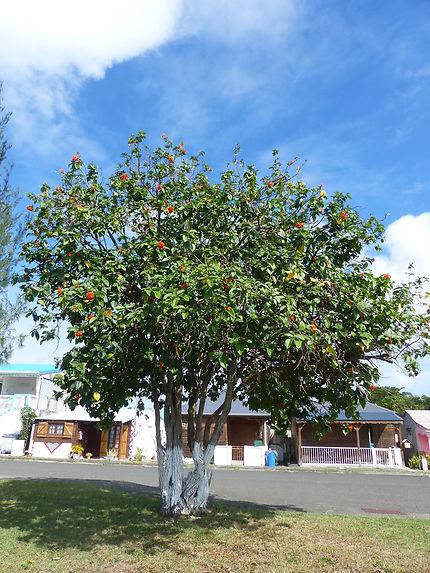 L'arbre à colibris à Anse-Bertrand, Guadeloupe