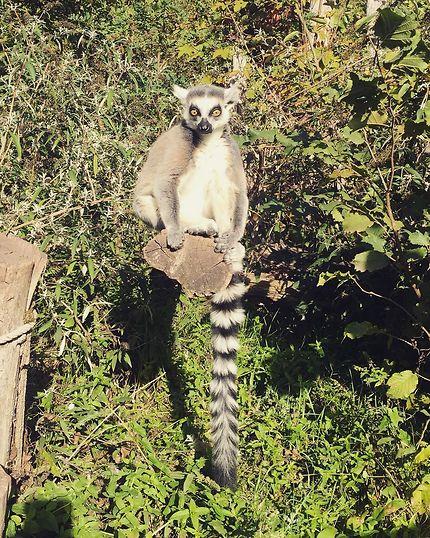 Lémurien dans le parc animalier de Sainte-Croix