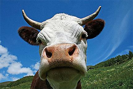 La vache valdotaine