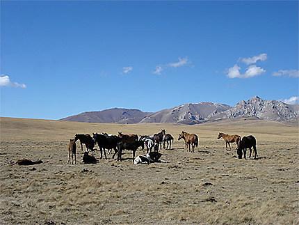 Chevaux dans le haut plateau de Song Kol