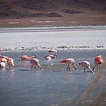 Flamands des Andes