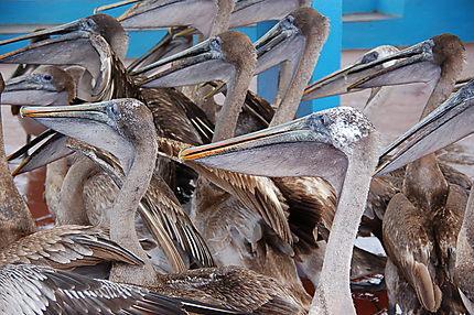 Pélicans au port de pêche