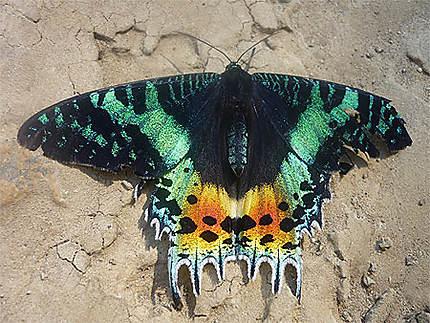 Il y a de très beaux papillons à Mada