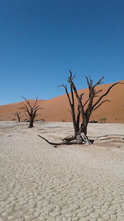Arbres morts, désert du Namib
