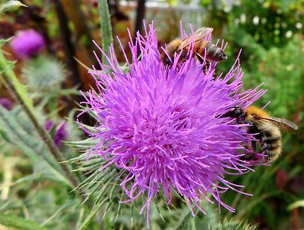 Les abeilles et la fleur de chardon