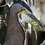 Oiseau (?) Islas del Rosario