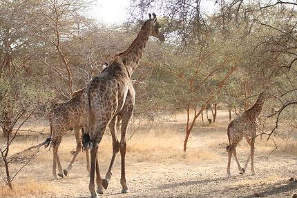 Séjour au Sénégal, réserve de Bandia