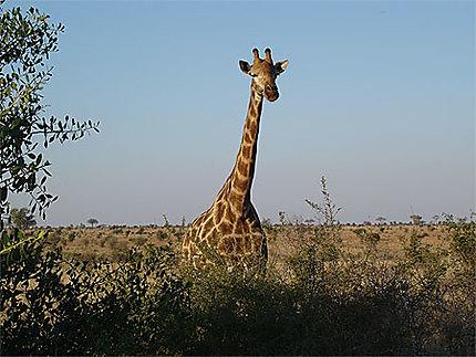 La girafe attentive