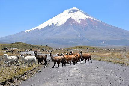 Lamas sauvages dans la parc national du Cotopaxi