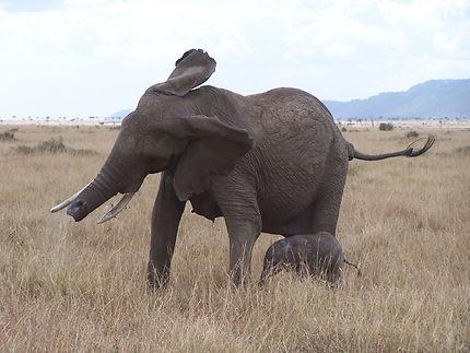 Eléphant en colère