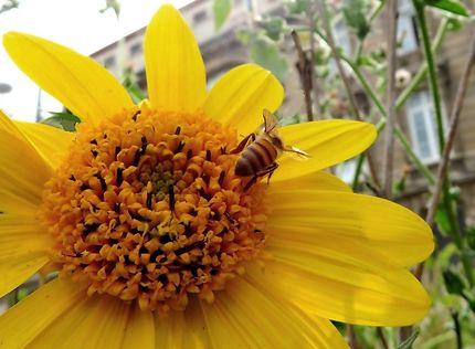 L'abeille du jardin Marielle-Franco