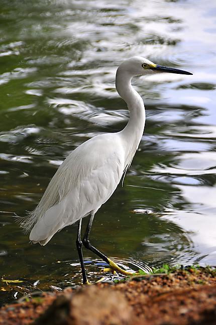 """Un """"habitant"""" du lac de Kandy"""