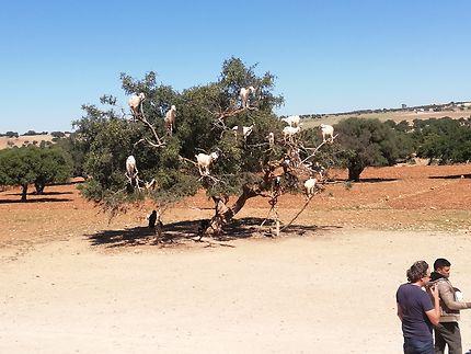 Chèvres dans un argan au Maroc