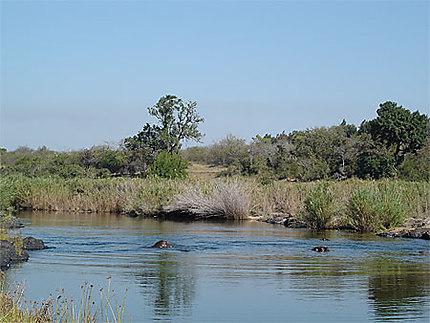 Hippopotames dans le fleuve
