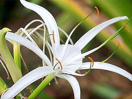 Fleur du Mont vernon