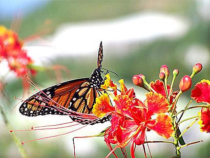 Papillon du Mont Vernon