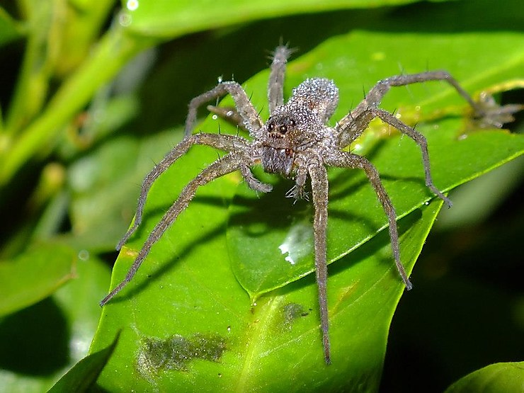 Araignée du Laos