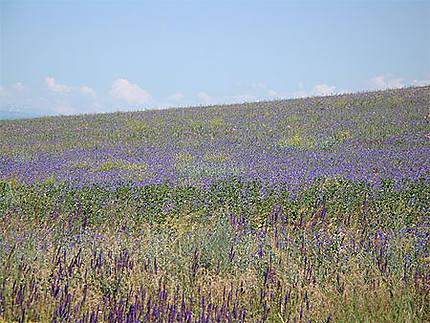 Des champs en fleurs, sur des kilomètres