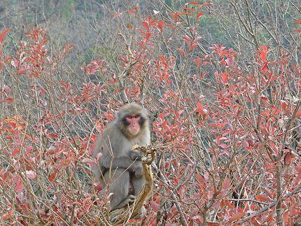 Kyoto - Macaque d'Arashiyama