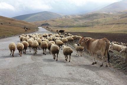 Troupeau en zone frontalière république d'Arménie