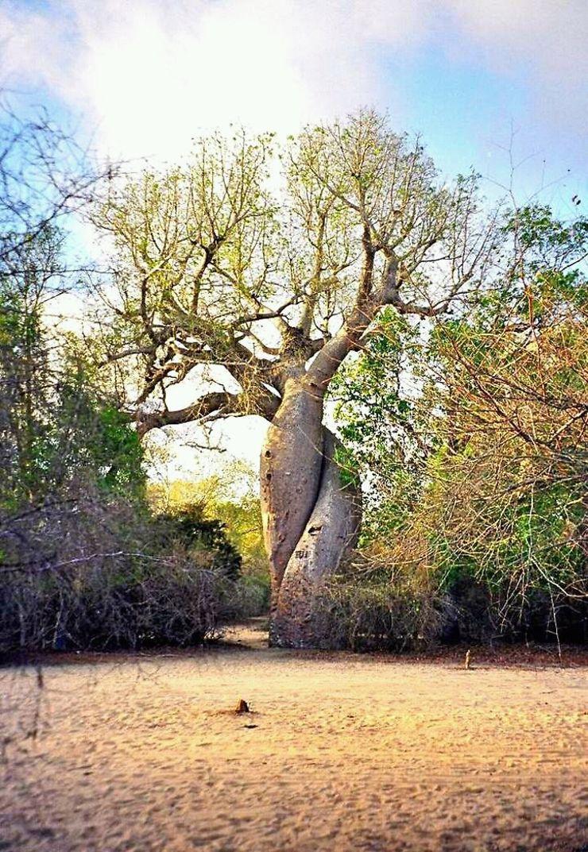 Baobab amoureux, Madagascar