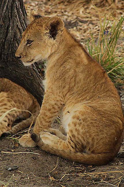 Lionceau assis