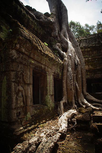Racine à Ta Prohm, temple, Cambodge