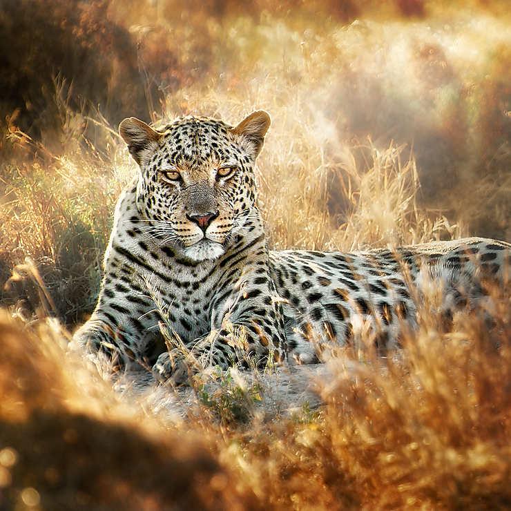 Léopard dans le parc d'Etosha, Namibie