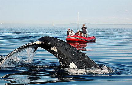 Baleine à bosse: la danse de la queue