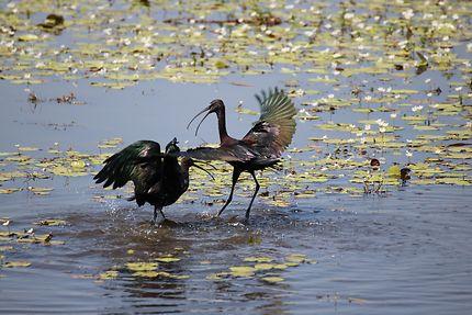 Quand deux Ibis falcinelle se rencontrent