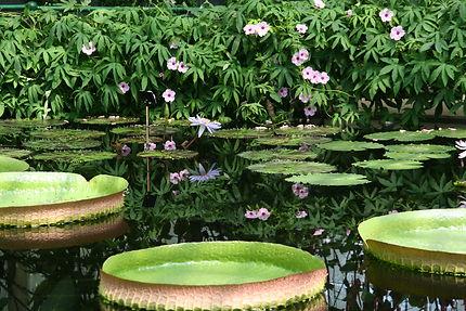 Nénuphars aux Kew Gardens