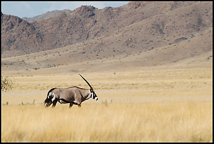 L'oryx solitaire