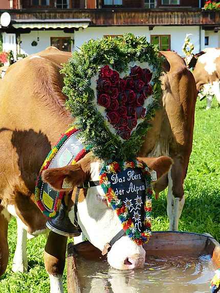 Vache à l'abreuvoir - Après la transhumance