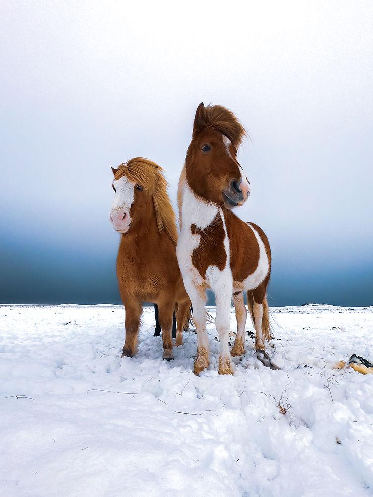 Les gardiens du Grand Nord à Höfn, Islande