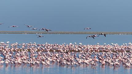 Une belle concentration de flamingos