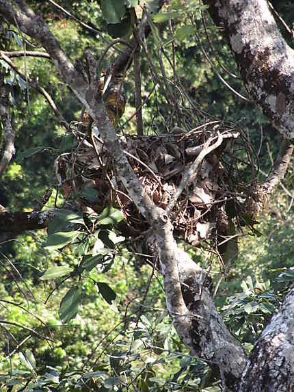 """Un nid ..... de """"démourou"""" (chimpanzé)"""