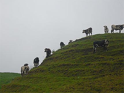 Boyaca - Vacas