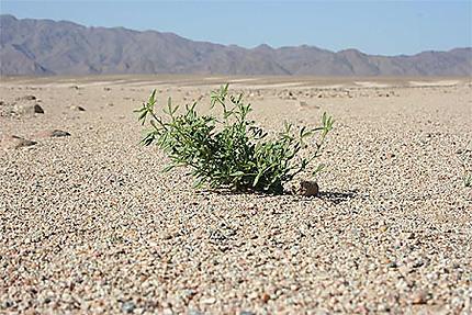 Algérie - Hoggar - Plante de l'espoir