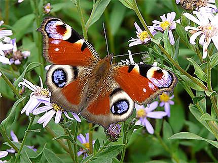 Fleurs bleues et papillon