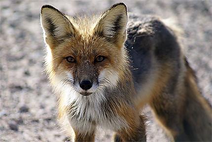 Rencontre avec un renard