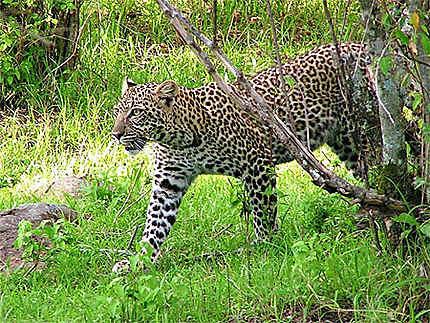 Léopard du Masai Mara