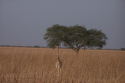 Girafe dans le parc de waza