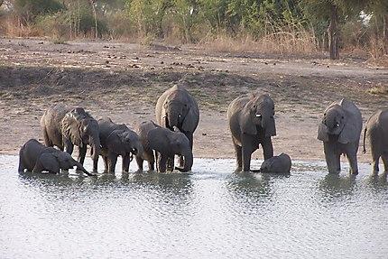 Eléphants au point d'eau dans le parc de Wasa