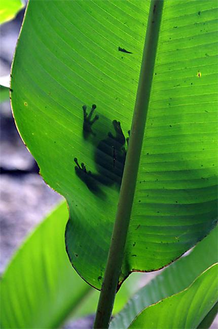 Ombre de grenouille